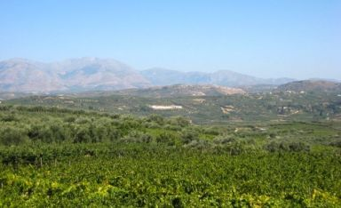 The vines from Stilianou