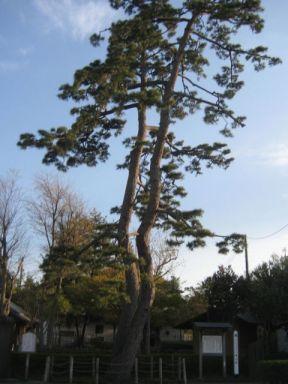 Futaki Pine (二木)
