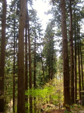 Pine forest in Yamadera