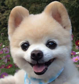 Shunsuke, the Japanese Pomeranian