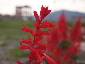 Shizugawa and red flower